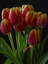 Photo Tulips Closeup Black background Drops Flowers