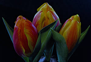 Wallpaper Tulips Closeup Black background Three 3 Flowers
