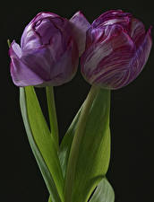 Wallpapers Tulips Closeup Black background 2 Flowers