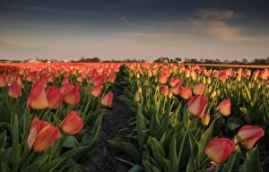Bilder Tulpen Felder