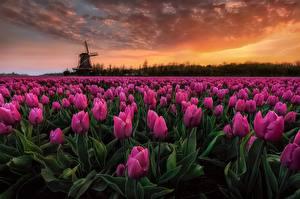 Bilder Tulpen Acker Niederlande Abend Rosa Farbe Blumen