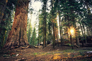 Picture USA Parks Forests California Trees Rays of light Sequoia National Park Nature