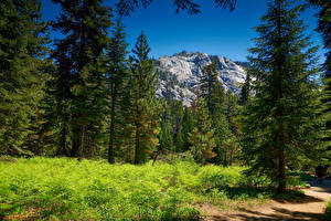 Pictures USA Park Mountain Forests Spruce Grass Sequoia National Park Nature