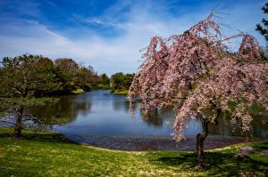 Images USA Parks Pond Flowering trees Spruce Missouri Botanical Garden Nature