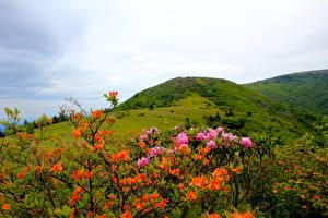 Hintergrundbilder Vereinigte Staaten Park Rhododendren Hügel Strauch Carolina Roan Mountain Rhododendrons