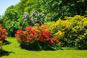 Bilder Vereinigtes Königreich Park Rhododendren Strauch Malmesbury Park Natur