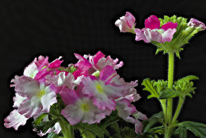 Pictures Verbena Closeup Black background Flowers