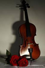 Bilder Violine Rosen Bordeauxrot Blumen Musik