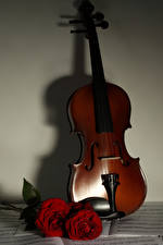 Bilder Violine Rose Bordeauxrot Blüte Musik