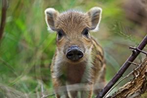 Images Wild boar Cubs Snout