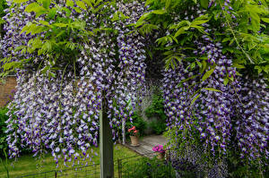 Fotos Wisterie Violett Blüte
