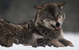 Bilder Wolf Eckzahn Grinsen Zwei