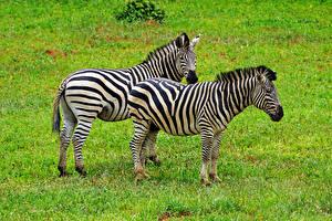 Bilder Zebra 2 Gras Tiere