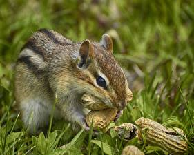 Image Сhipmunks Rodents Nuts Grass Animals