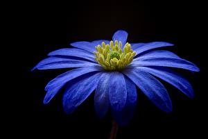 Wallpapers Closeup Black background Blue Petals Balkan Anemone blanda Flowers