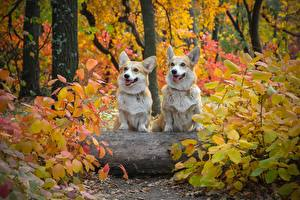 Pictures Autumn Dogs Two Welsh Corgi Foliage