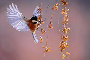 Wallpapers Berry Birds Tits Flight Wings Varied tit animal