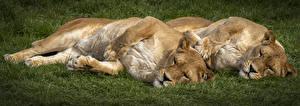Fotos Große Katze Löwe Löwin 2 Schlafen ein Tier