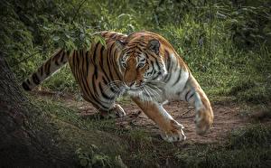 Fotos Große Katze Tiger Lauf Tiere