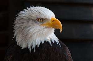 Image Bird Eagles Staring Beak Head Black background Bald Eagle Animals