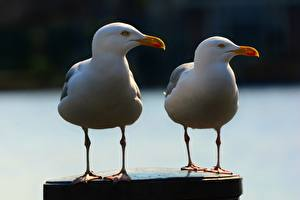 Wallpapers Birds Gull 2