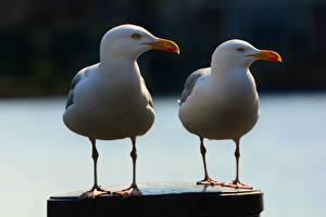 Bilder Vogel Möwen 2 Tiere