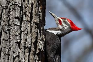 Bilder Vögel Spechte Baumstamm Pileated Woodpecker