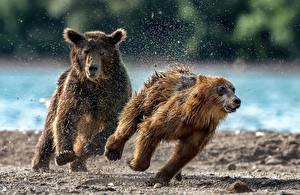 Image Bears Grizzly Cubs Running 2 Spray