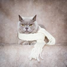 Bilder Katze Britisch Kurzhaar Graue Schal ein Tier