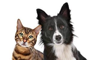 Hintergrundbilder Katze Hunde Bengalkatze Weißer hintergrund 2 Starren Border Collie Tiere