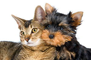 Picture Cats Dogs White background 2 Yorkshire terrier Glance animal