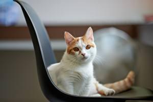 Hintergrundbilder Katze Starren Stuhl Tiere