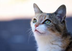 Hintergrundbilder Katze Starren Schnauze Kopf