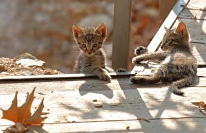 Fotos Katze Kätzchen Zwei Bretter Tiere