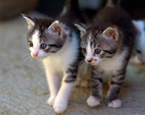 Picture Cats Two Kitty cat Glance animal