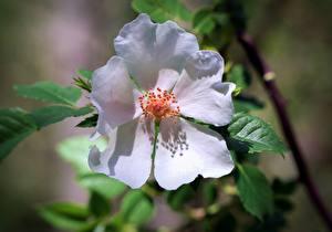 Hintergrundbilder Großansicht Blütenblätter Weiß Dogrose Blüte