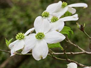 Image Closeup Branches White Dogwood Flowers