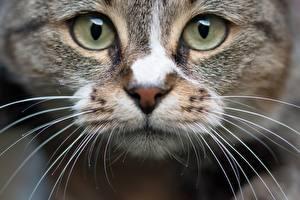 Fotos Großansicht Augen Hauskatze Starren Schnauze Schnurrhaare Vibrisse Tiere