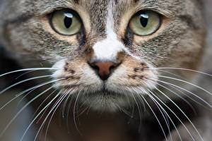 Pictures Closeup Eyes Cat Staring Snout Whiskers Animals