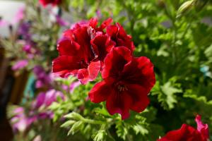 Pictures Closeup Geranium Red Flowers