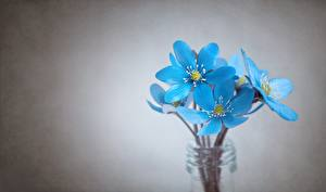 Images Closeup Gray background Light Blue Hepatica Flowers