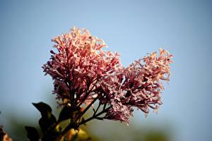 Bilder Hautnah Syringa Rosa Farbe Meyer's lilac Blumen