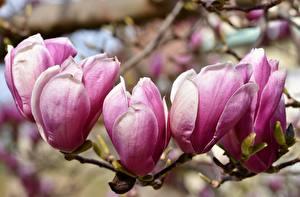 Fotos Großansicht Magnolien Rosa Farbe Ast Blumen