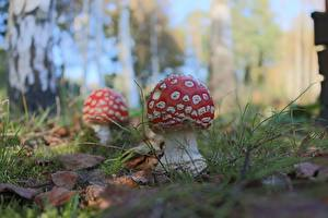 Hintergrundbilder Großansicht Pilze Natur Wulstlinge Natur