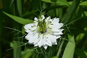Picture Closeup White Nigella Flowers