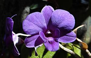 Hintergrundbilder Großansicht Orchideen Violett Dendrobium Blumen