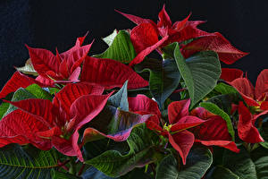 Picture Closeup Red Foliage Poinsettia Flowers