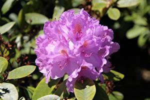 Hintergrundbilder Großansicht Rhododendren Rosa Farbe Blüte