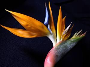 Bilder Großansicht Schwarzer Hintergrund Strelitzia Blüte