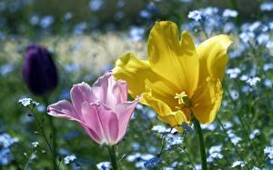 Bilder Großansicht Tulpen 2 Rosa Farbe Gelb Blumen